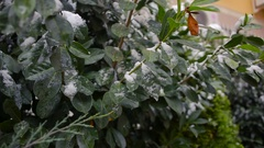 The first sudden early snow on green leaves. cold Stock Footage