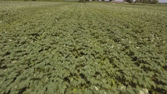 Aerial of green potato field Stock Footage