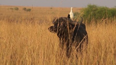 Wild African Buffalos Stock Footage