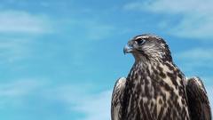 Gyrfalcon Falco Rusticolus Stock Footage
