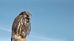 Gyrfalcon Falco Rusticolus vomiting Stock Footage