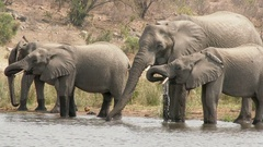 African Elephant  family together drinking in one line at water edge. Stock Footage
