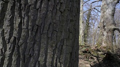 Tree trunk dolly right exposing forest, winter, Germany Stock Footage