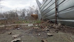Red-haired stray dog near metal fence frightened passers 4k Stock Footage