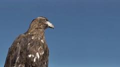 Golden Eagle Aquila Chrysaetos Stock Footage