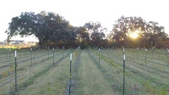 Drone Pull Back Down Trough Row of Winery Vines at Sunrise Stock Footage