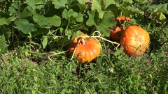 Pumpkin vegetables growing in organic food farm plantation. Zoom out. 4K Stock Footage