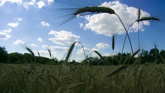 Wheat Field and Spikelets. Time Lapse Stock Footage