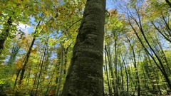 Moving Among the Trunks of the Beech Trees in Fall Stock Footage
