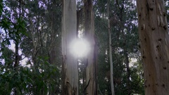 Dandenong Ranges Park: Trees in the Forest, Sun back light Stock Footage