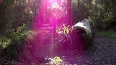 Dandenong Ranges Park: Tree Trunk in the Forest, Purple Flare in Camera lens Stock Footage