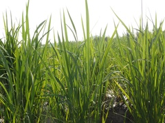 Gyeongsan, Korea, Rice paddy at hot day Stock Footage