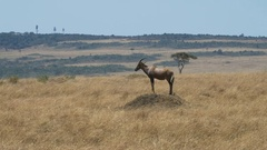 Long shot of a topi on a termite mound in masai mara Stock Footage