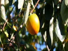 Gyeongbuk, Korea, Persimmons on a tree Stock Footage