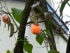 Fresh grouth persimmon in rain korea Stock Footage