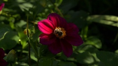Bee pollination of magenta flower in Giverny garden, close up Stock Footage