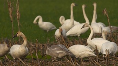 Swans, Trumpeter Swans In Flight Stock Footage