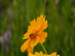 Gyeongbuk, Korea, Honey bee on yellow cosmos flower in field Stock Footage