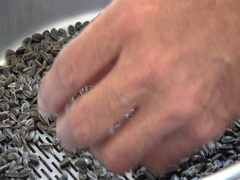 Quality testing  sunflower seeds in agriculture laboratories factory Stock Footage