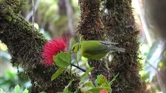 Kauai Amakihi (Chlorodrepanis stejnegeri) on lehua (Metrosideros polymorpha) Stock Footage