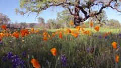 California Poppy Stock Footage