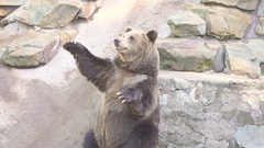 Brown bear grizzly standing on its hind legs Stock Footage