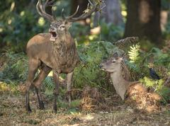 Intimate tender moment between red deer stag and hind doe during rutting season Stock Photos