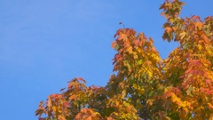 Beautiful multi-colored leaves on a tree. Gold foliage Stock Footage