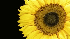 Sunflower Close Up - 29,97FPS NTSC Arkistovideo
