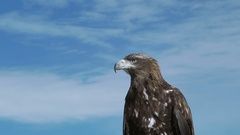 Golden Eagle Aquila Chrysaetos Stock Footage