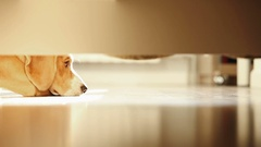 Lonely beagle dog misses on the laminate floor. Stock Footage