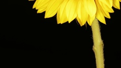 Under Sunflower Petals Background - 29,97FPS NTSC Stock Footage
