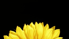 Sunflower Petals Black Background - 29,97FPS NTSC Stock Footage