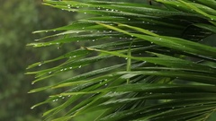 Tropical rain drops falling on the large green palm leaves in Thailand Stock Footage