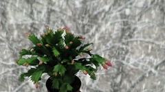 Time-lapse of growing and blooming pink Christmas cactus on snowing background Stock Footage