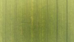 Green corn field circular aerial shot Plows lines and patterns - camera looking Stock Footage