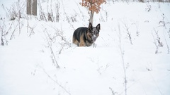 Happy dog playing in snow. Winter landscape. Stock Footage