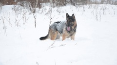 German Shepherd dog playing In A Snow. Winter background. Cold weather. Stock Footage