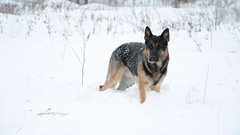Happy dog playing in a snow. Winter landscape. Stock Footage