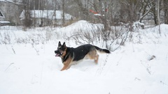 Cute funny dog catching snowballs. Stock Footage