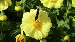 Colourful butterfly of  Red Admiral on a yellow flower of Dahlia Stock Footage