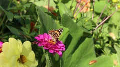 Colourful butterflys of Painted lady and  European Peacock on flower of Zinnia Stock Footage