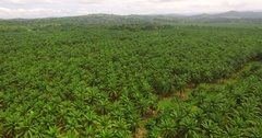 Costa Rican Palm Oil Plantation Aerial View Rise Up Stock Footage