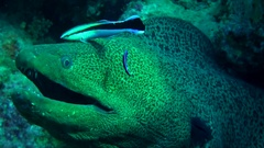 Giant Moray and cleaner wrasse close-up Stock Footage