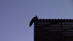 Fowl on a roof at dusk moving its head Stock Footage