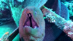 Giant Moray gaping mouth close-up Stock Footage