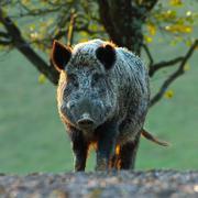 Big wild boar looking at camera Kuvituskuvat