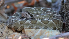 Low angle close up of a Rattlesnake in Northern California Stock Footage