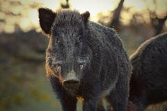 Closeup of wild boar in sunset light Kuvituskuvat