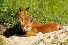 Lazy fox cub Stock Photos
